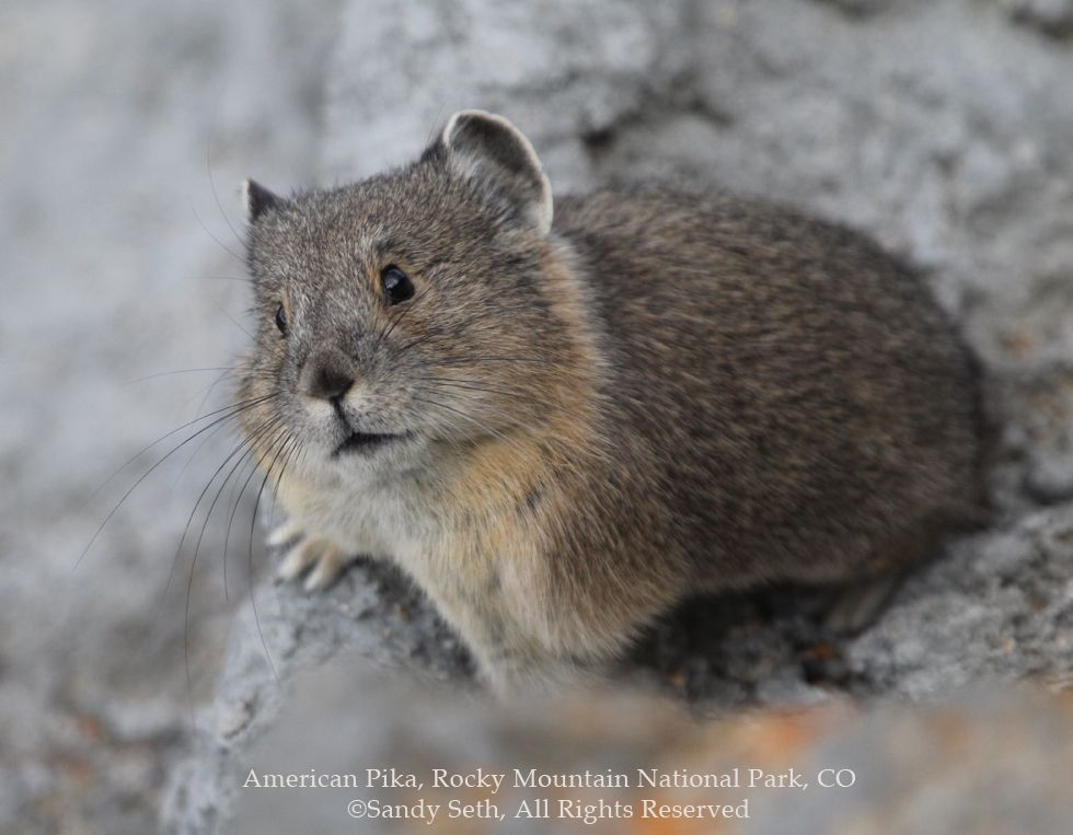American Pika copyright Sandy Seth, All Rights Reserved Birdsonggallery.com